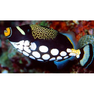 Peixe Clown Triggerfish  P