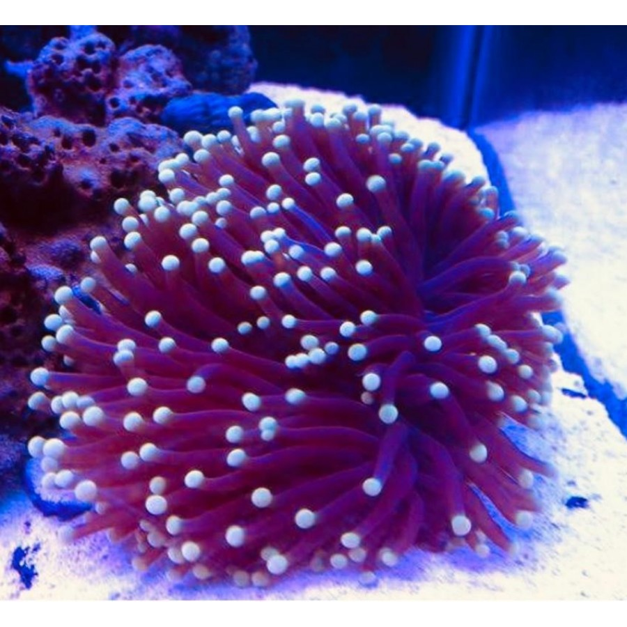 Coral Torch Red 3 Bocas