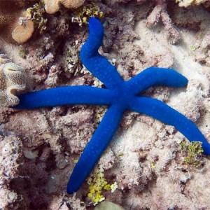Estrela Linckia Blue