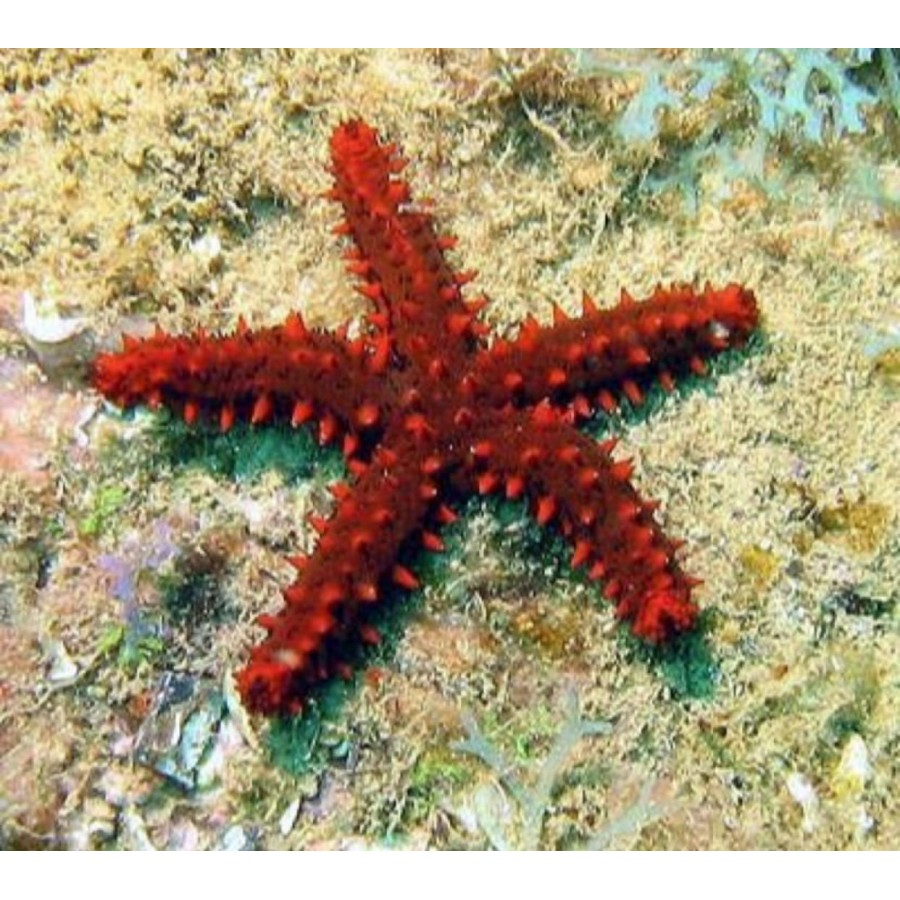 Estrela Red Knobby