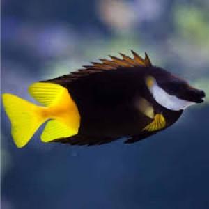 Peixe Fox Face Fiji