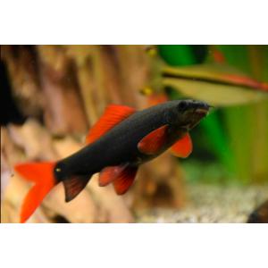 Peixe Labeo Frenatus