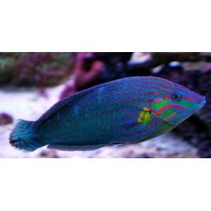 Peixes Wrasse Melanurus