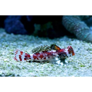 BLENNY SCOOTER RED